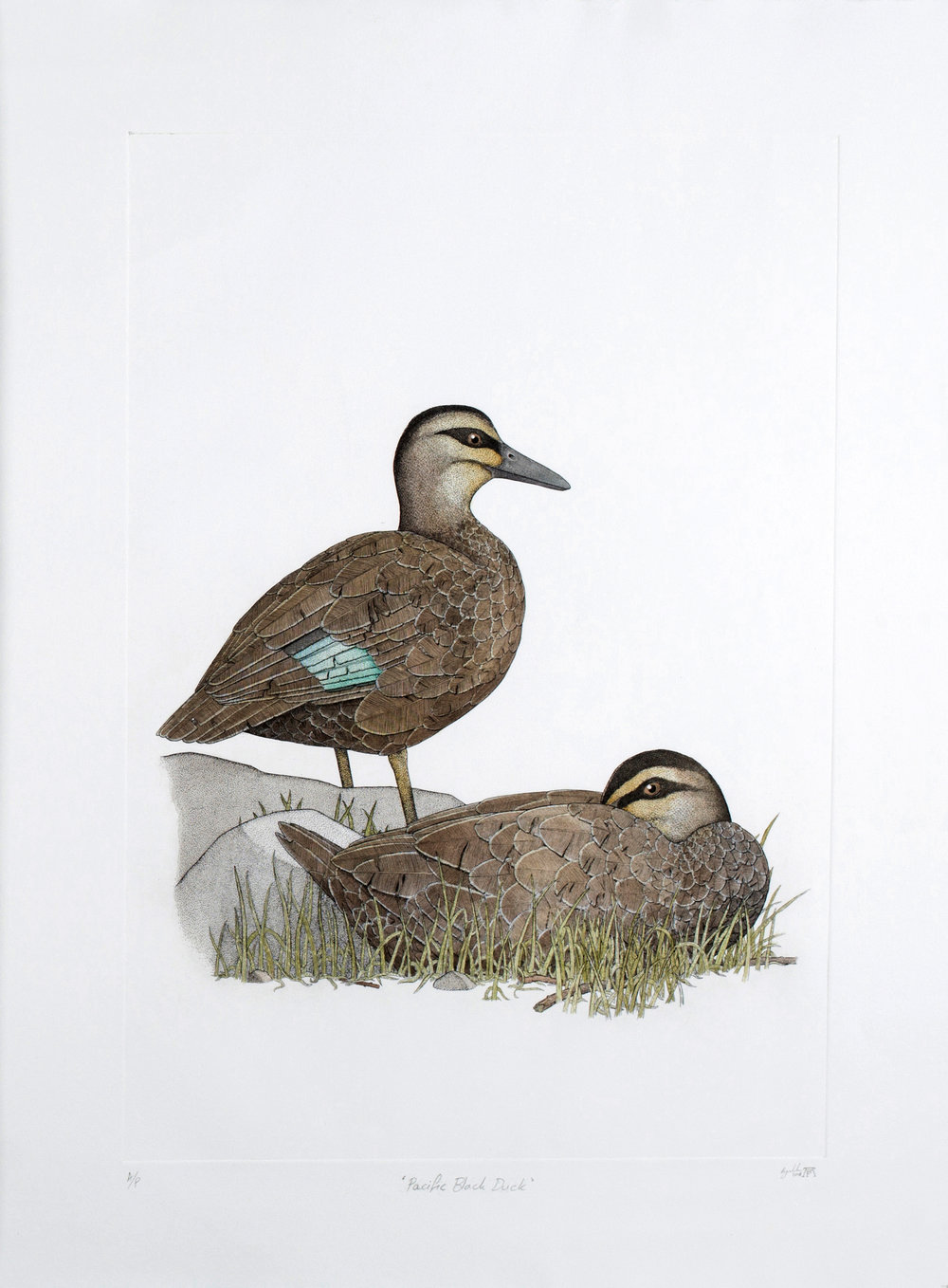 'Pacific Black Duck'