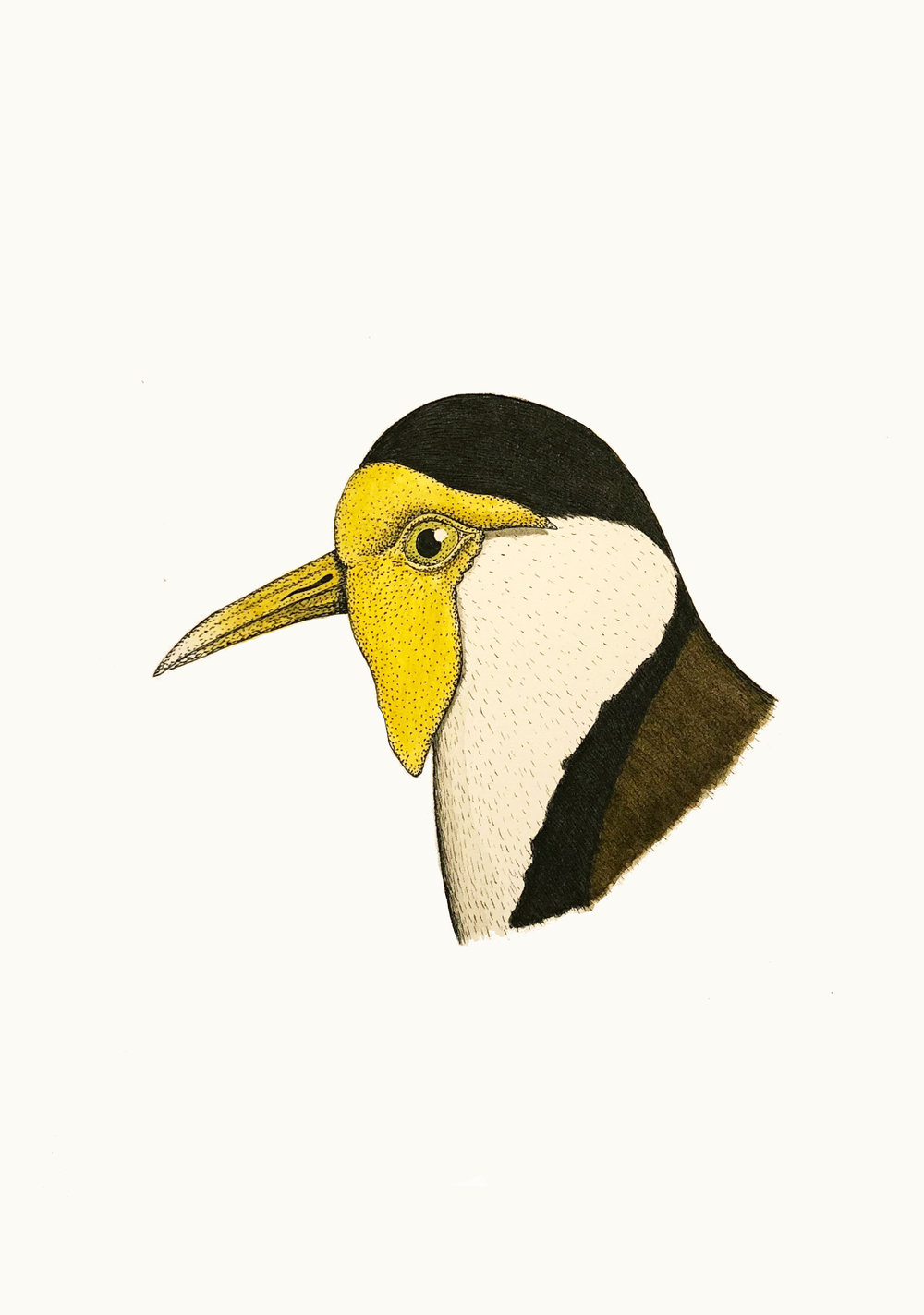 'Portrait of a Masked Lapwing'