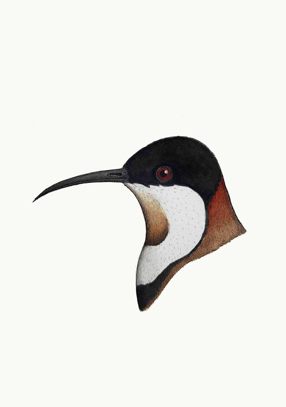 'Portrait of and Eastern Spinebill'