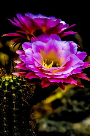 [Image: Torch+Cactus+2.jpg?format=300w]