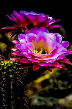 [Image: Torch+Cactus+2.jpg?format=300w]