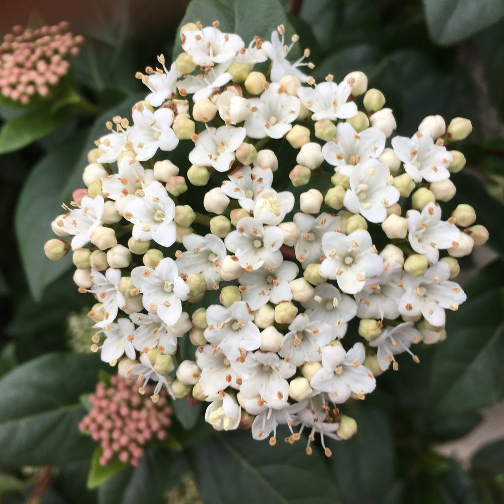 This Viburnum shrub has beautiful posy like clusters. Delicate and romantic.