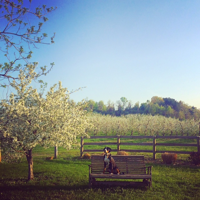 piper and apple trees.jpg