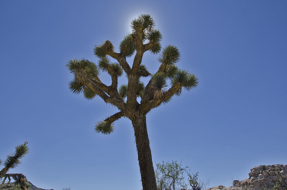It was hot and the Joshua Tree mocked me.