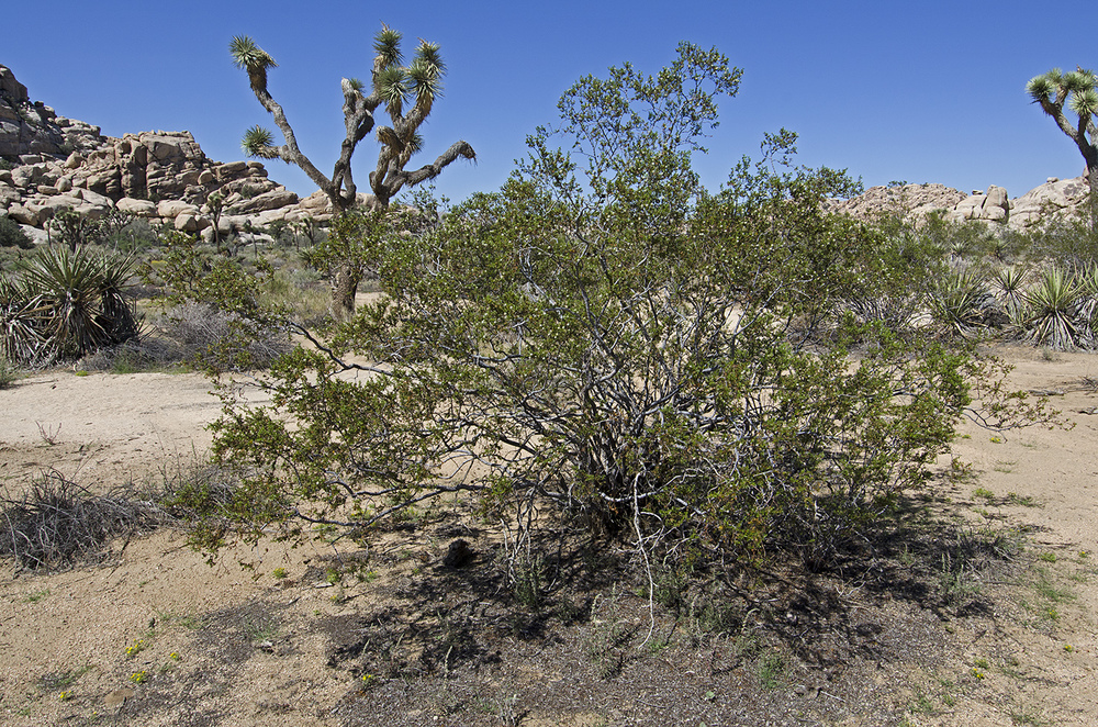 Creosote bushes are everywhere. It's a desert survivor. It's small leaves will drop off during periods of drought, but grow back quickly after good rains. It's green most of the year and will sprout small yellow flowers in the spring, or after a good rain storm.