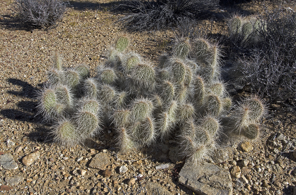"There were a lot of these cacti in this area. I called them ""old man"" cactus because they look like a headfull of grey hair. I'm sure they have a real name, like Bob, or Joe."