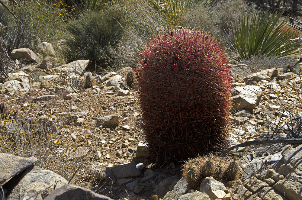 Red barrel cactus catching some sun.