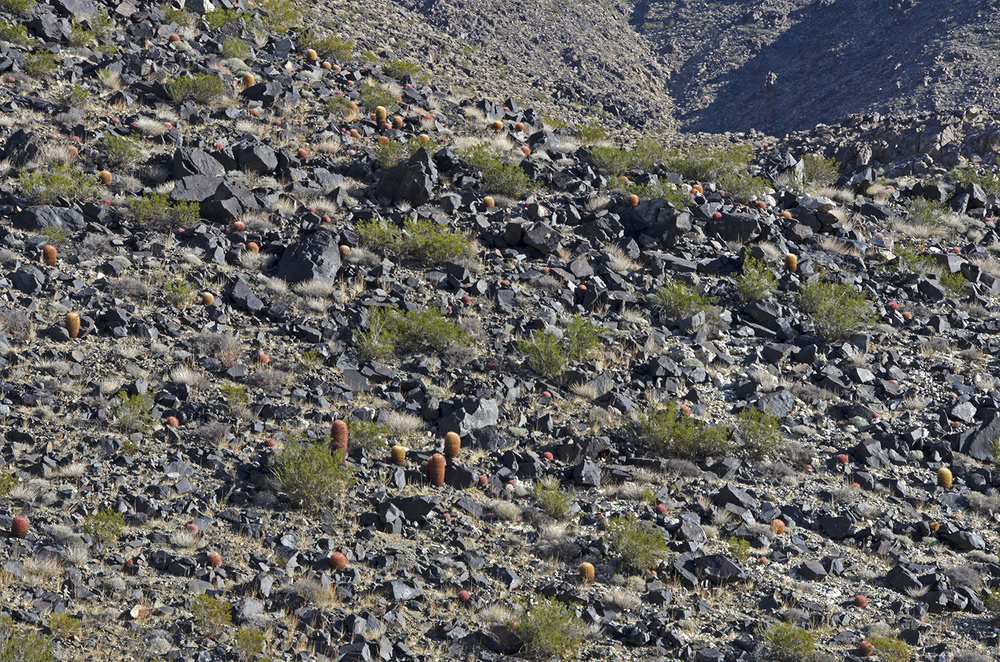 There are at least 50 barrel cactus plants on this small section of slope on the Hexie Mountains.