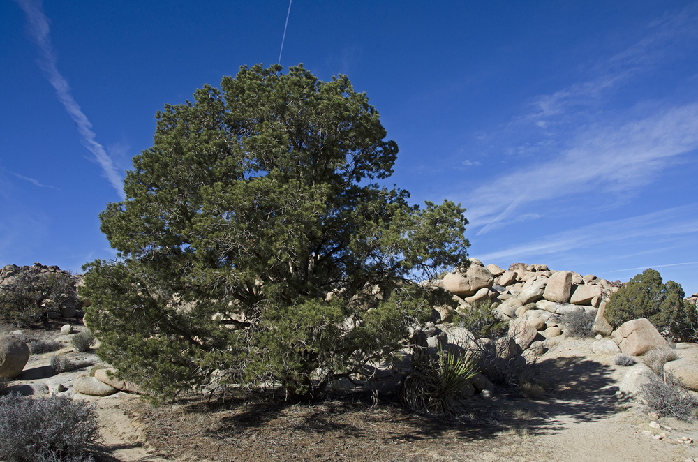 A large pine tree in a wash.
