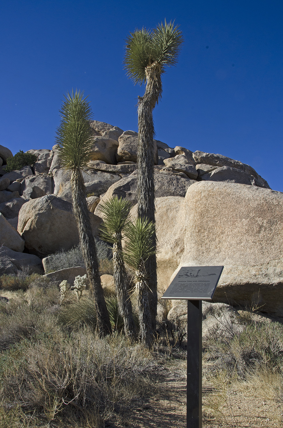 Joshua Tree with Offshoots