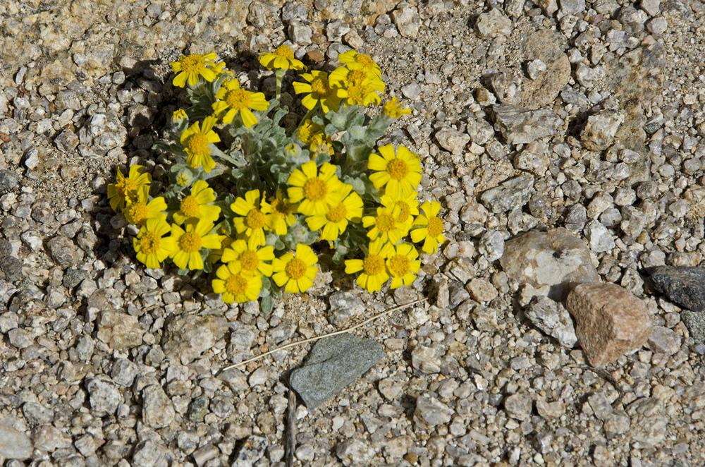 Wallace's Eriophyllum