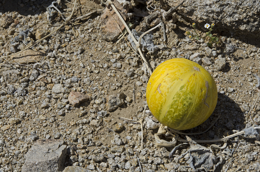 Sometimes I'll see a bunch of these Coyote melons, but this was the lone melon for this trip.