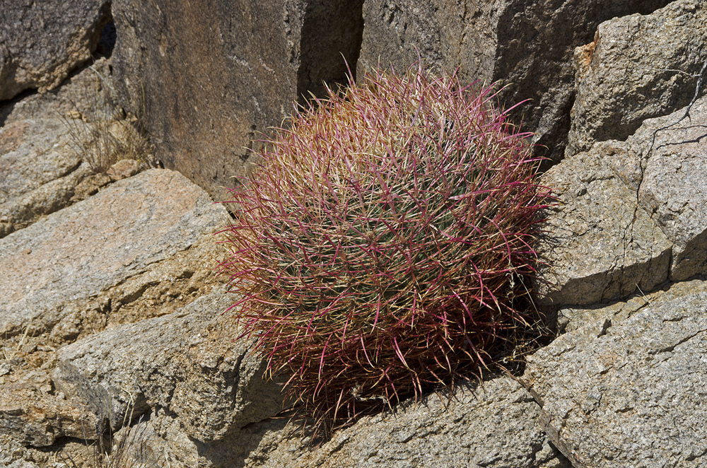 A small red barrel cactus. These things are amazing, I'll see them growing out of what sometimes appears to be solid rock.