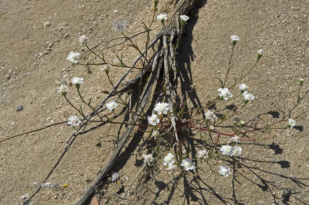 Mojave Pincushion
