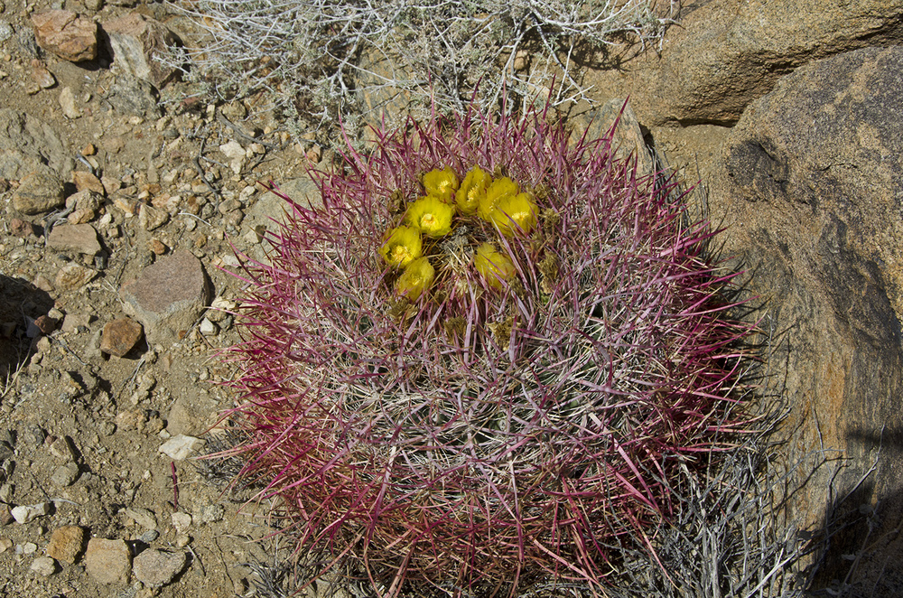 A blooming Barrel Cactus