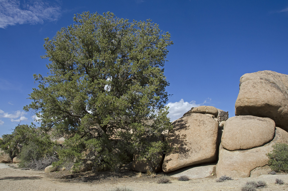 The largest Pinyon pine at Pine City.