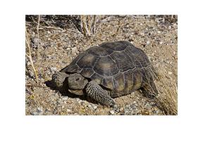 Joshua Tree National Park 001 Desert Tortoise Mini.jpg