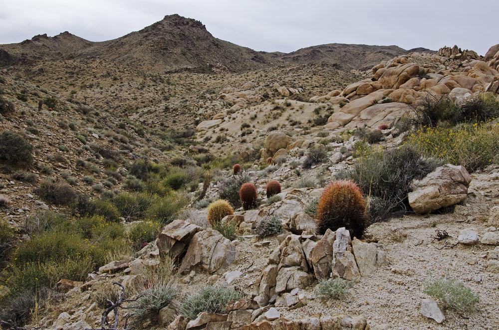 Joshua Tree NP - Stirrup Tank Area 15 Cactus Field.jpg