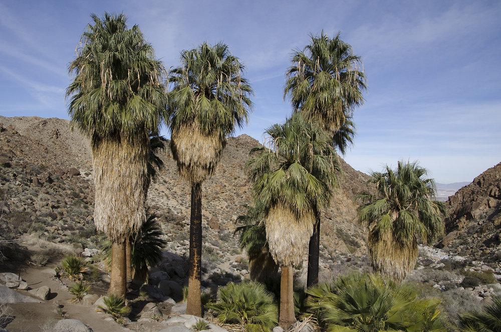 Fortynine Palms Oasis Joshua Tree NP 17.jpg