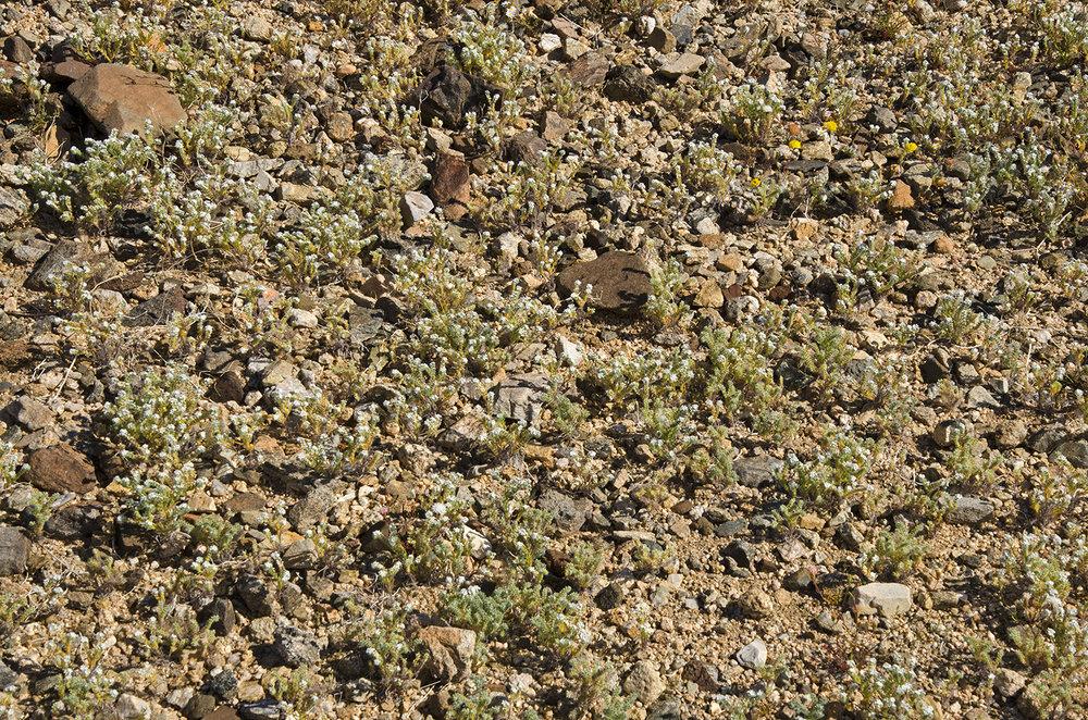 Joshua Tree National Park Wildflowers 02.jpg