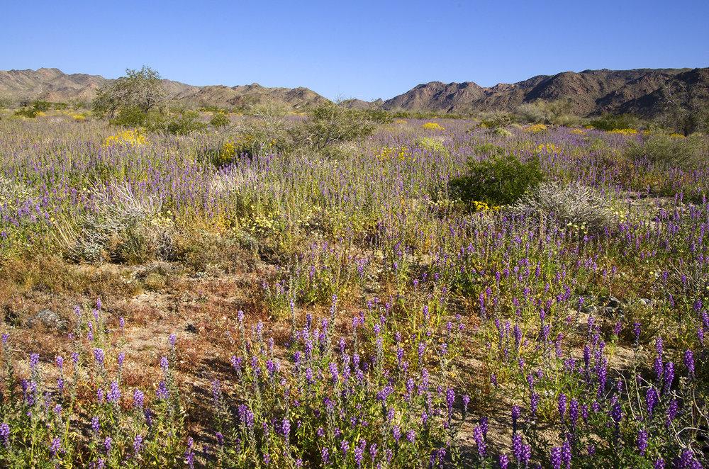 Joshua Tree National Park Wildflowers 01.jpg