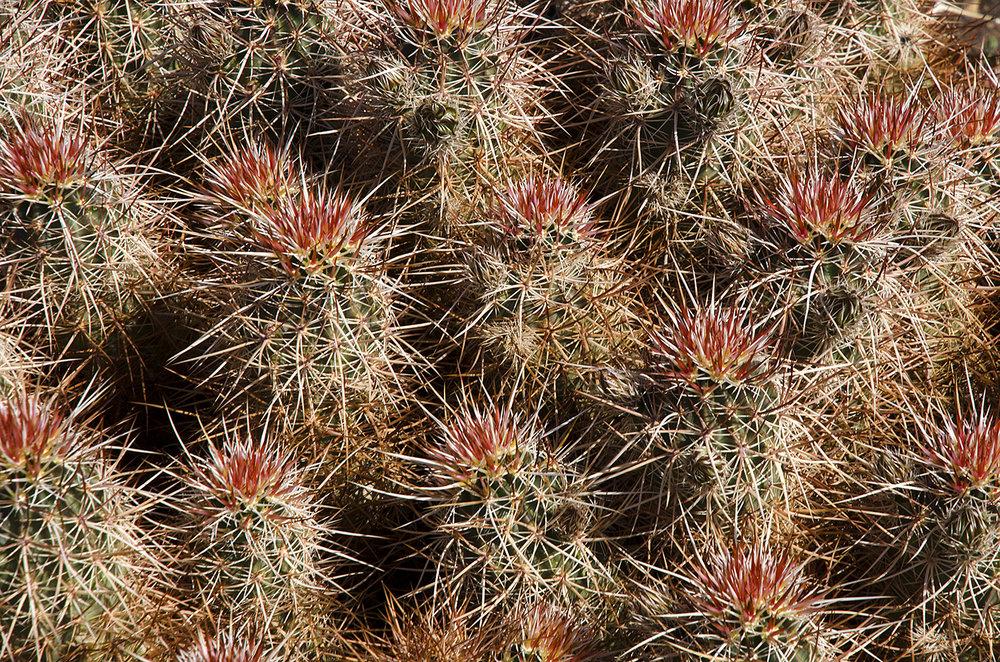 Joshua Tree National Park Wildflowers 03.jpg