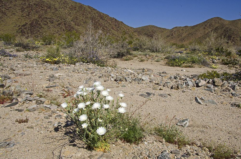 Joshua Tree National Park Wildflowers 05.jpg