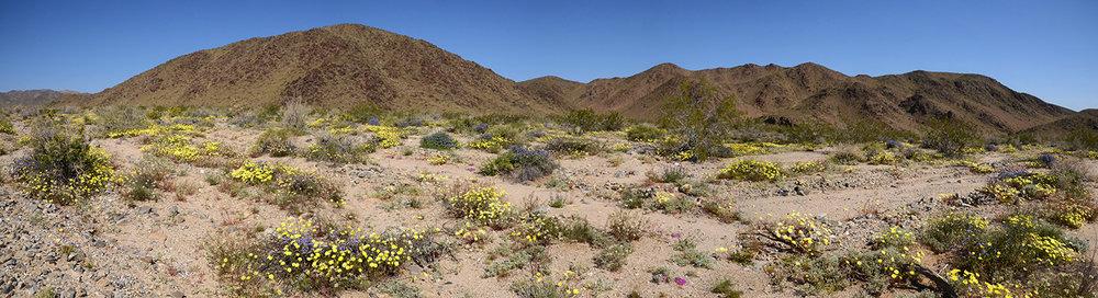 Joshua Tree National Park Wildflowers 06 Pano.jpg