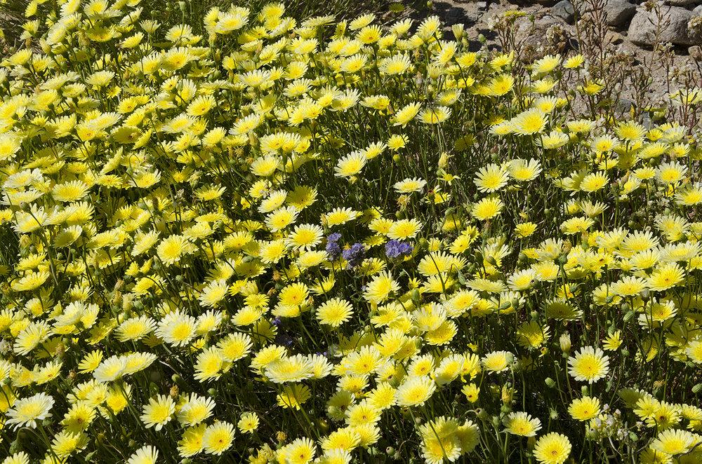 Joshua Tree National Park Wildflowers 52.jpg