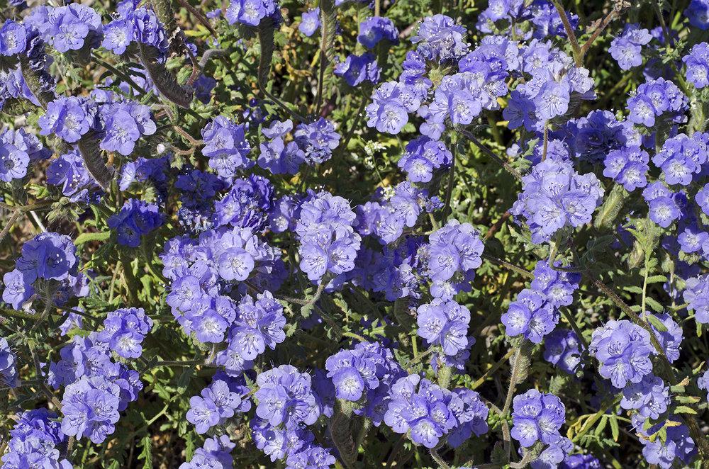Joshua Tree National Park Wildflowers 18.jpg