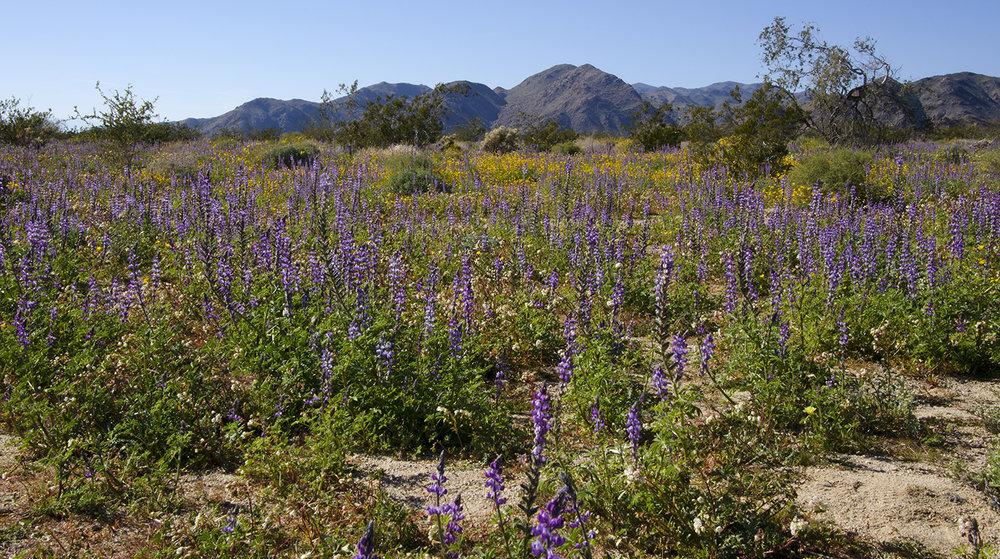Joshua Tree National Park Wildflowers 27.jpg