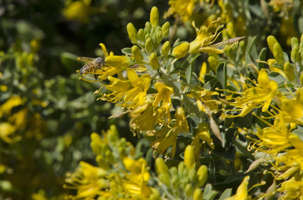 Joshua Tree National Park Wildflowers 29.jpg