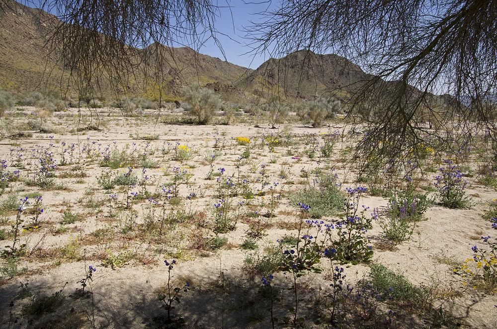 Joshua Tree National Park Wildflowers 34.jpg