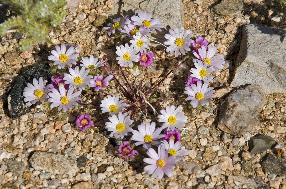 Joshua Tree National Park Wildflowers 38.jpg