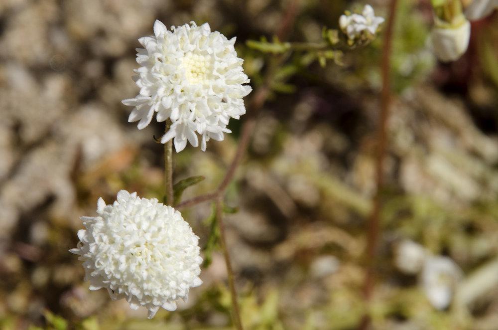 Desert pincushion