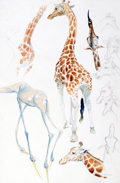 Giraffe Study (Lincoln Park Zoo)