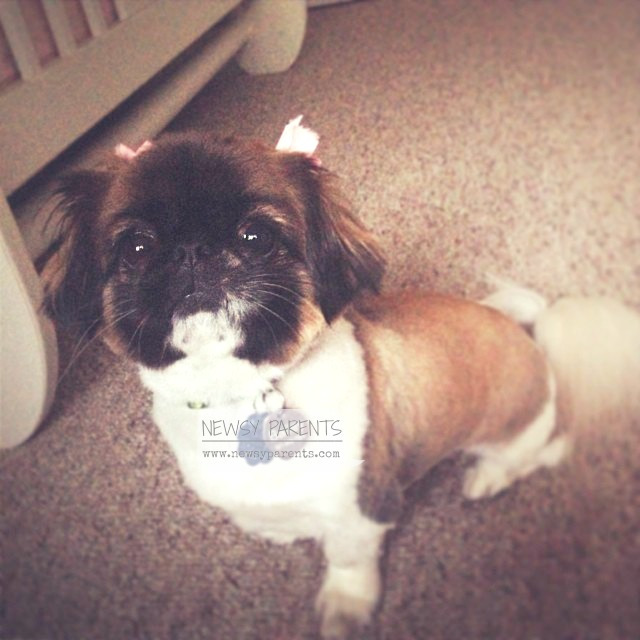 Bailey, our Pekingese/Shih Tzu mix, at 8 years old