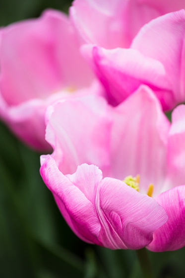 Holland Spring Blooms_Z5A4958_29.jpg