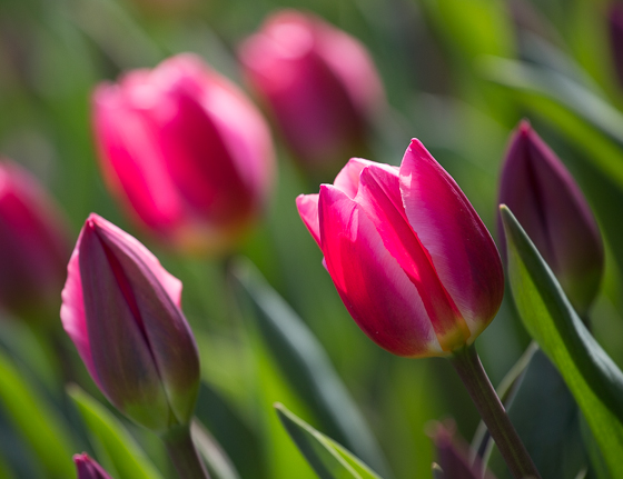 Holland Spring Blooms_Z5A4691_40.jpg