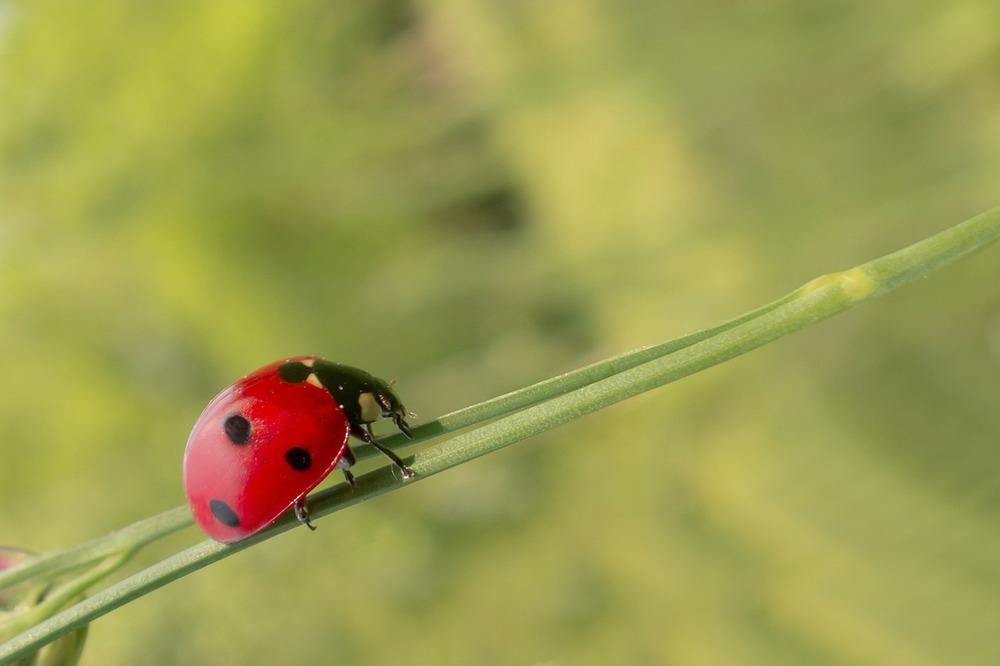 ladybug on weed