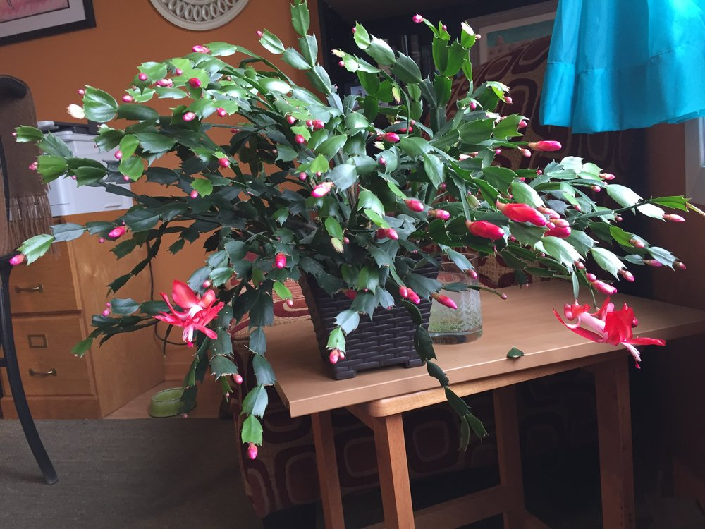 The annual blooming of my Christmas Cactus runs from late October to late April each year!