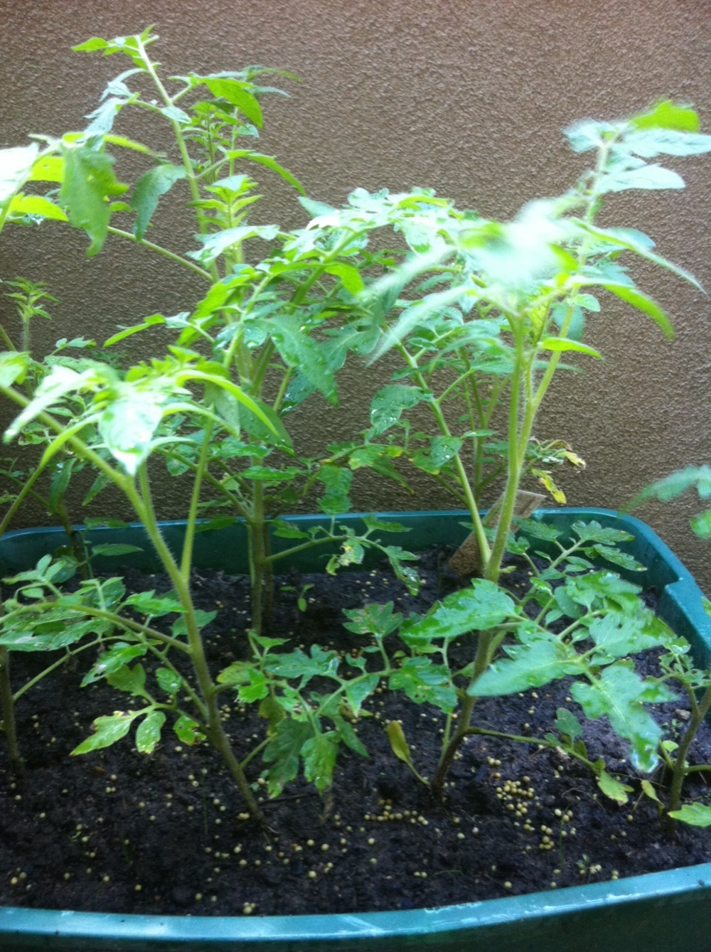 Andy Wallace Tomato Plant