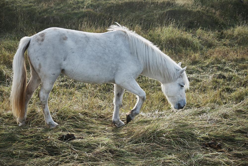 Icelandic pony, Hafnir