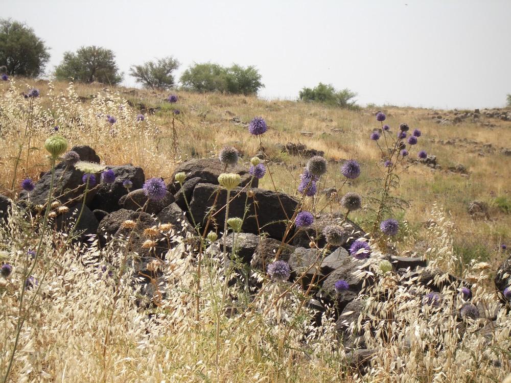 Thistles in Tiberias.