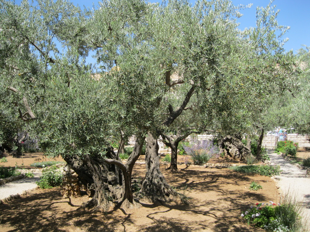 Olive Trees in Garden of Gethsemene