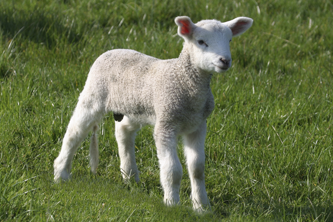 The Passover lamb must be a one-year old male and without blemish. Exodus 12:5