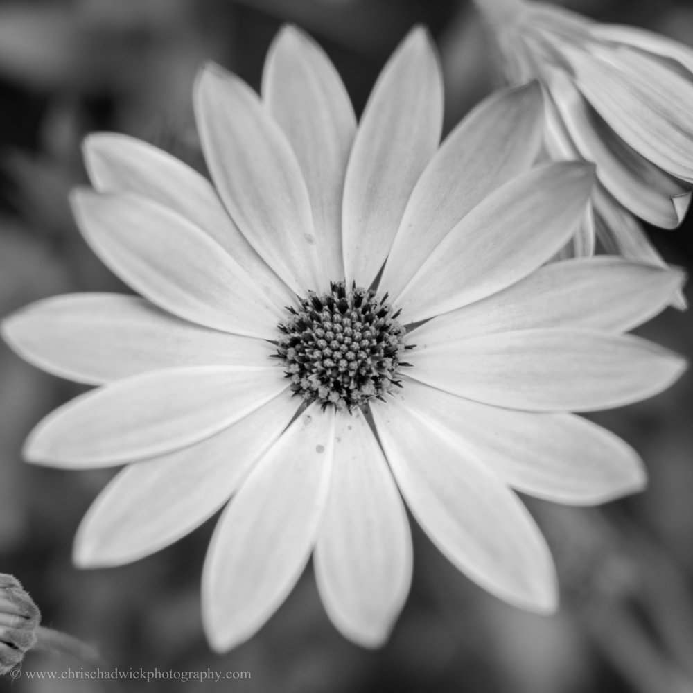 This point, the reproductive centre of this flower, is positioned in the centre of the image. This can sometimes be too static, but in this instance I think it works best. The symmetry of the flower also lends itself to the square format, which I have chosen. A shallow depth of field also helps isolate the point from the petals and background. Monochrome certainly helps isolate the dark centre from its surroundings as in the original image there were a number of colours which drew the attention elsewhere.