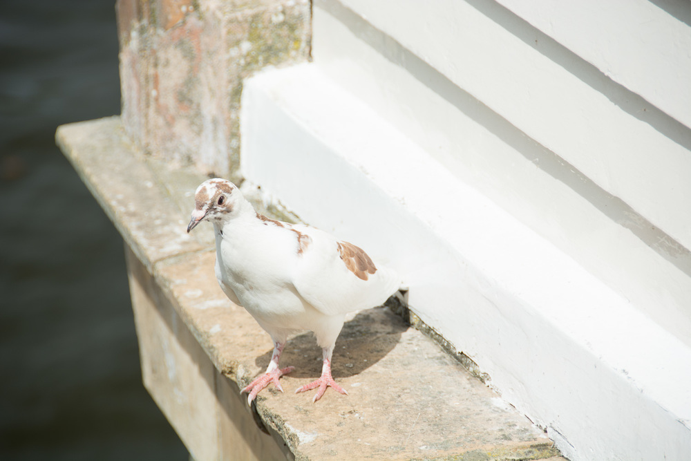 This image was exposed lighter than the in camera exposure meter suggested; otherwise the whites of the painted woodwork and the pigeon's feathers would have been more grey.