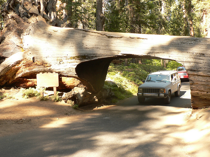 Yes, you can actually drive through a fallen sequoia on your way intoSequoia National Park. Photo:Jeff Pang /  flickr