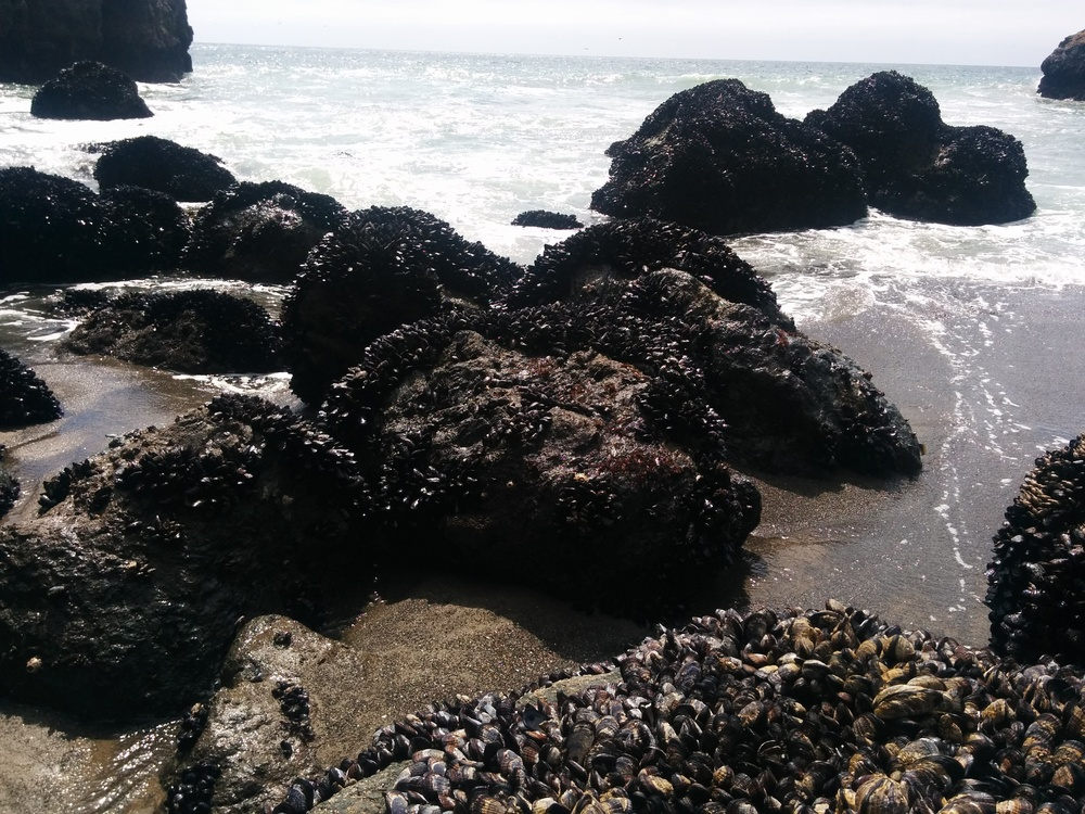 Real, live mussels everywhere on Mussel Rock Beach!